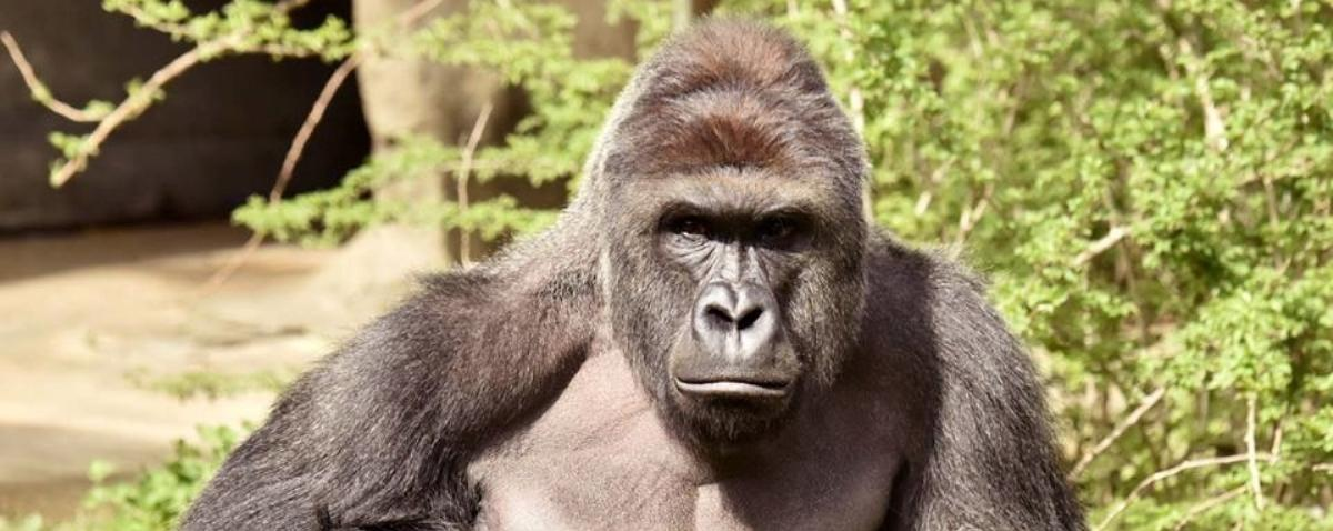 zoos-decision-to-kill-gorilla-after-toddler-fell-into-habitat-sparks-outrage-1464716613