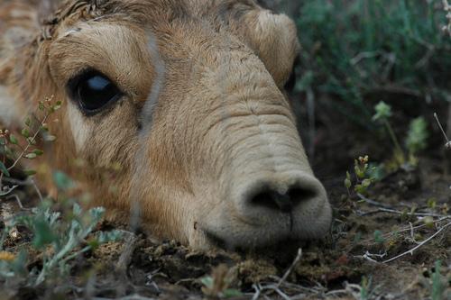 baby-saiga-antelope-calf-pictures