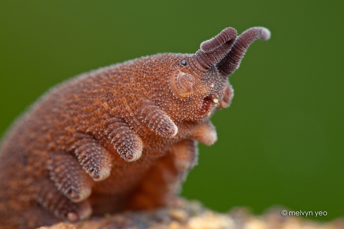 velvet_worm_says______give_me_a_hug__by_melvynyeo-d6gkcrb