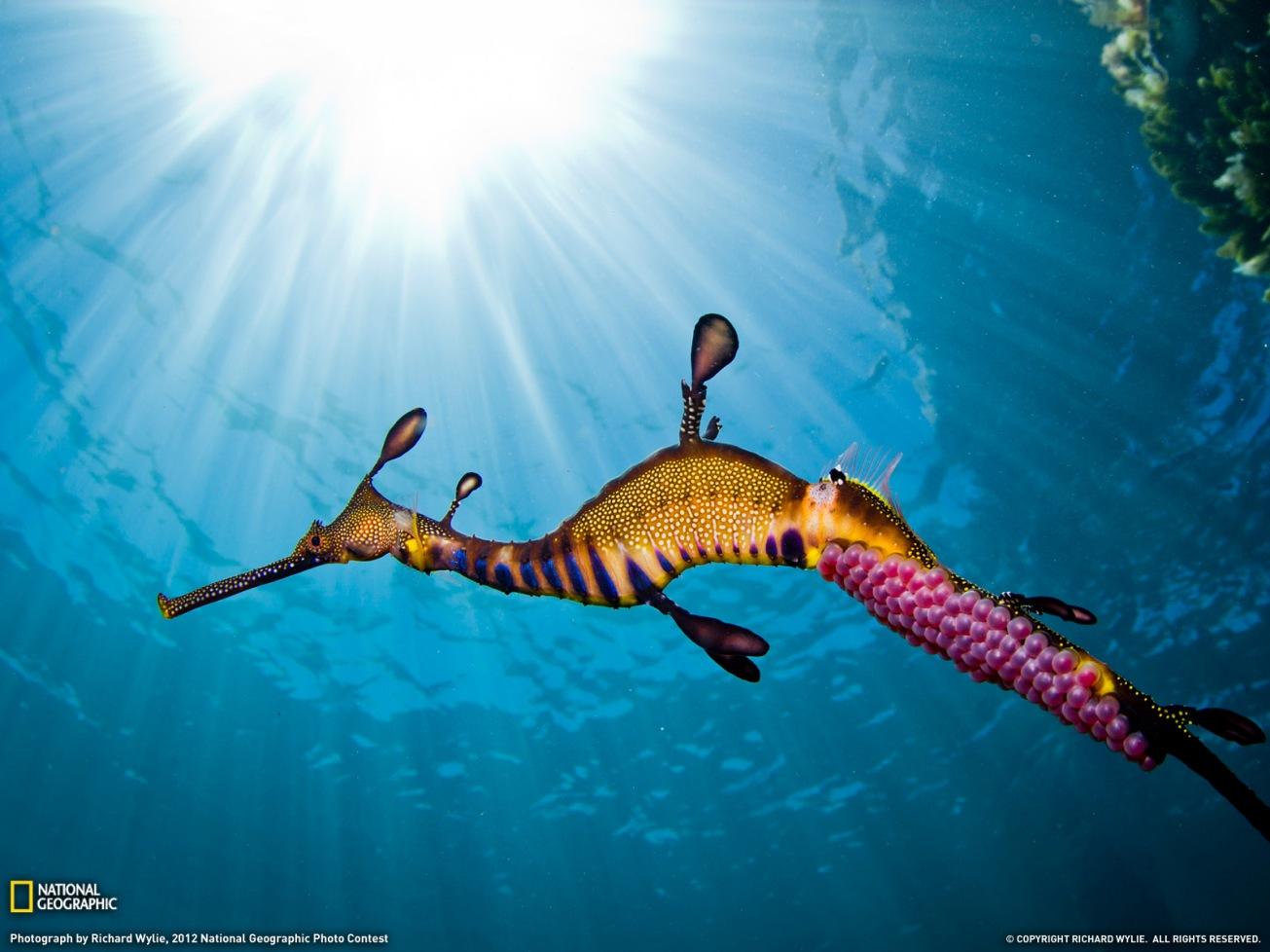 weedy-seadragon