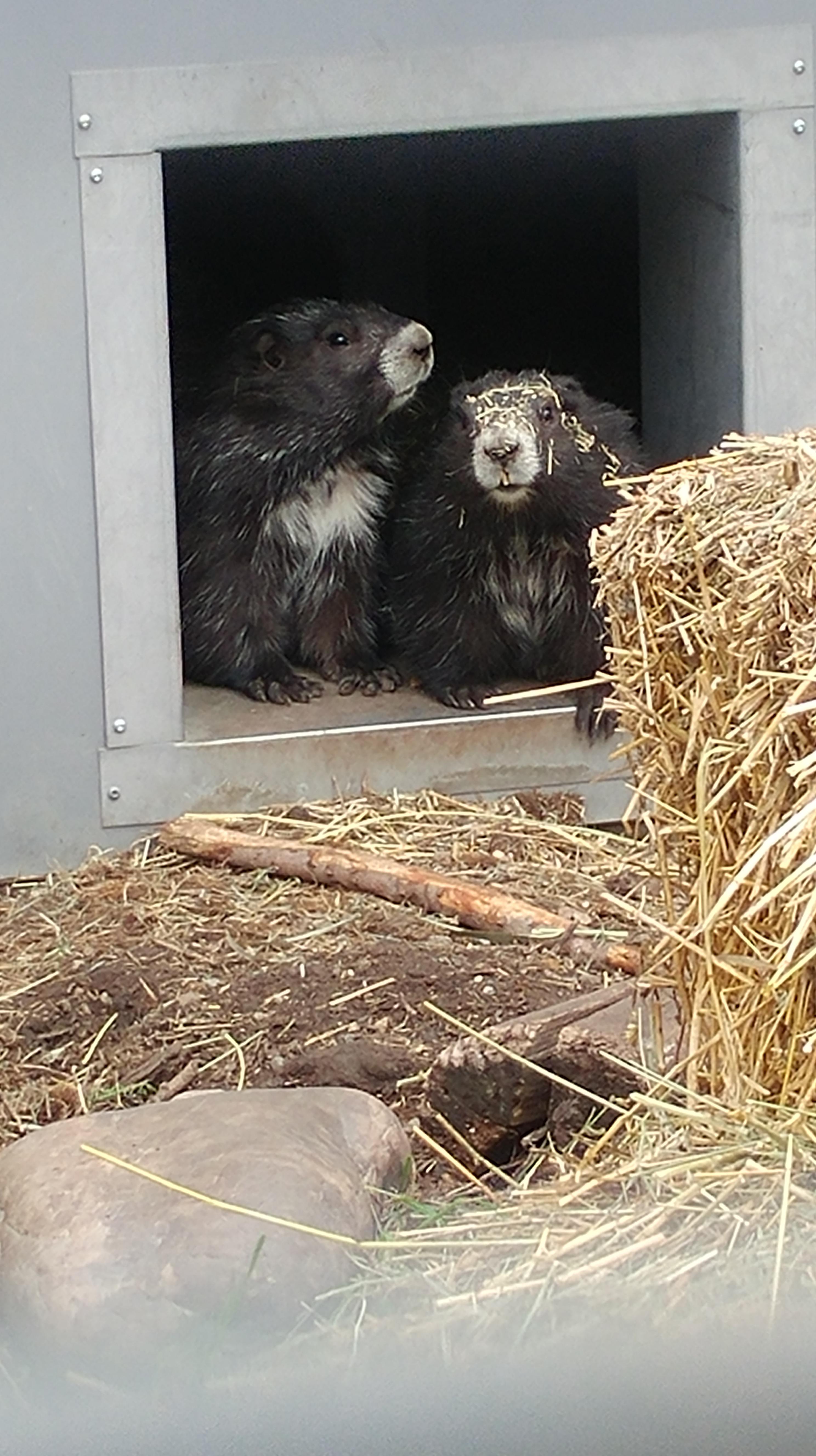 marmot pair.jpg